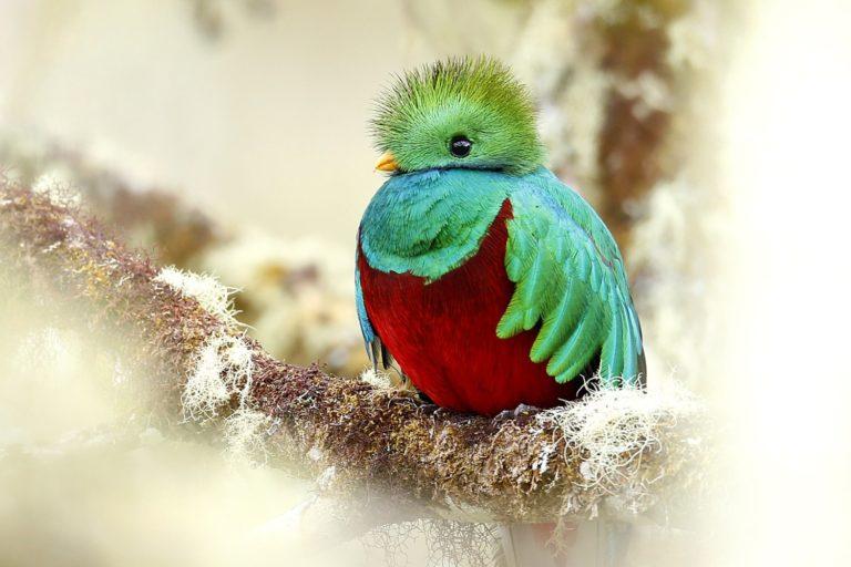 Pharomachrus mocinno, Resplendent Quetzal