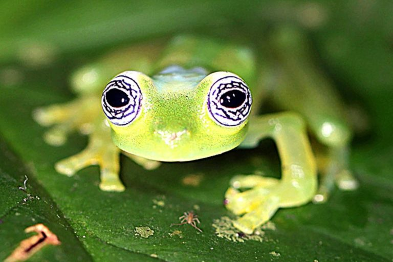 Sachatamia ilex, Ghost glass frog