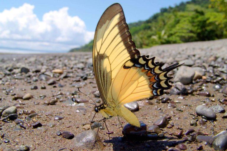 Papilio androgeus epidaurus, Androgeus Swallotail