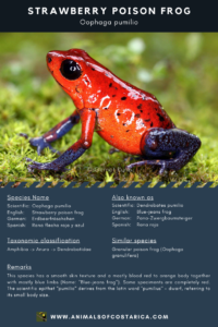 ACR Species Fact Sheet 0001: Strawberry Poison Frog (Oophaga pumilio)