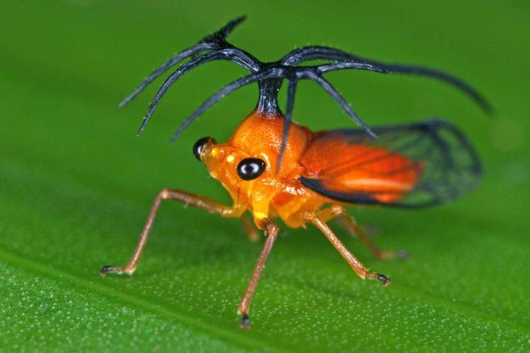 Umbelligerus woldai, Orange helicopter treehopper